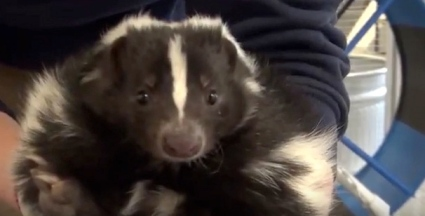 Lilly the Skunk in keeper's arms at the Houston Zoo(YouTube screenshot/Houston.Zoo)