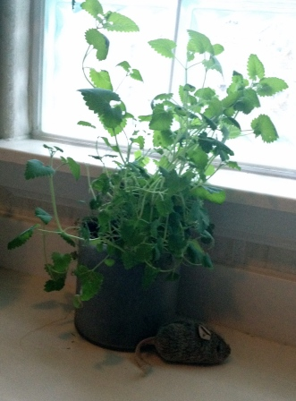 (Copyrighted image) Catnip plant in window (All rights reserved) (NO permissions granted)