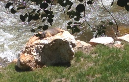Marmot sunning on a rock along side Fall River. Estes Park, CO. ALL rights reserved. NO permissions granted. Copyrighted