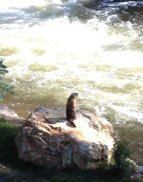 Marmot commanding rock by Fall River. NO permissions granted. ALL rights reserved. Copyrighted