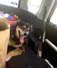 Happy dog riding in car. ALL rights reserved. NO permissions granted. Copyrighted