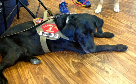 Black dog wearing miltary insignia vest. Sretched out on floor is retired Marine Oreo. at Meadowlake fund raiser. NO permissions granted. ALL rights reserved. Copyrighted.