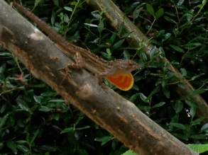 Large lizard with ruby throat on branch. ALL rights reserved. NO permissions granted. Copyrighted