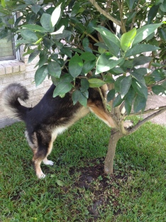 Dog attempting to climb tree. ALL rights reserved. Copyrighted. NO permissions granted