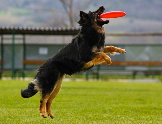 dog catching frisbee. (Lucie Schonova/Commons.wikimedia.org)