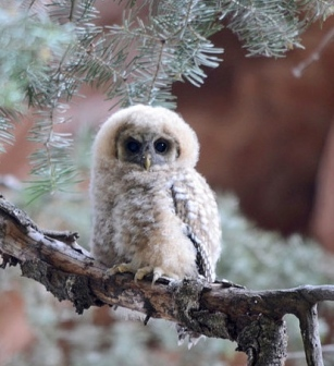 Bird. Mexican spotted owlet. Zion Nat. Park. NPS Sarah Stio USPD by-fed-employee Commons.wikimedia.org