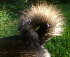 Molly Malamute's dog tail curled into Mohawk. ALL rights reserved. COpyrighted. NO permissions granted