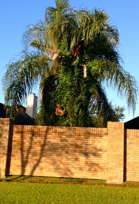 Palm tree covered by purple blooming morning glory vine. ALL rights reserved. Copyrighted. NO permissions granted