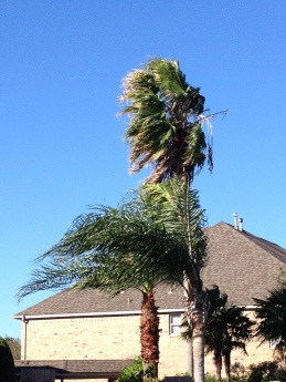 Palms in a strong wind. ALL rights reserved. NO permissions granted. Copyrighted