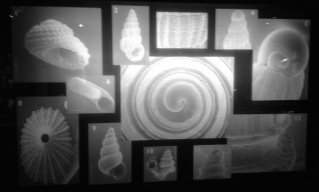 Sea shells displayed. Houston Museum of Natural Science. ALL rights reserved. Copyrighted. NO permissions granted
