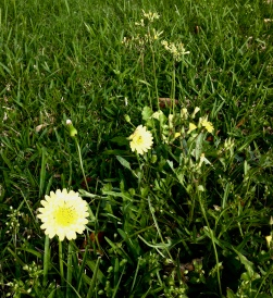 Blooming dandelions and weeds in yard. ALL rights reserved. Copyrighted. NO permissions granted.