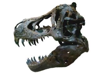 Dinosaur. T Rex skull. Oxford Museum of Nat. History (Ballista/Commons.wikimedia.org)