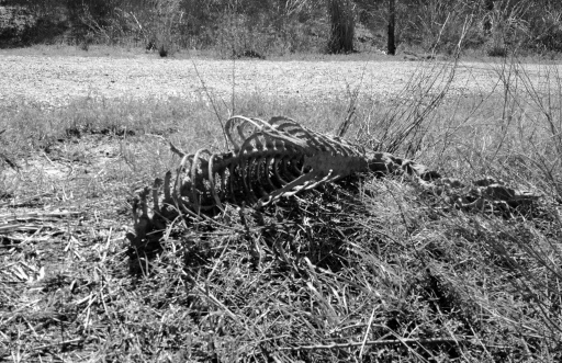 Skeletal rib cage of deer. A gator kill at Pine Gully. ALL rights reserved. Copyrighted. NO permissions granted