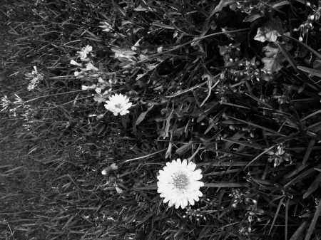 flowers in BW. ALL rights reserved. Copyrighted. NO permissions granted