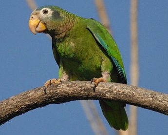 Yellow billed green parrot on branch. (Southerland/flickr/snowmanradio/Commons.wikimedia.org)