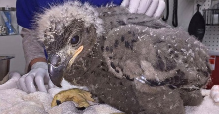 American bald eaglet receiving care (Image Wildlife Center of Texas/click2houston)