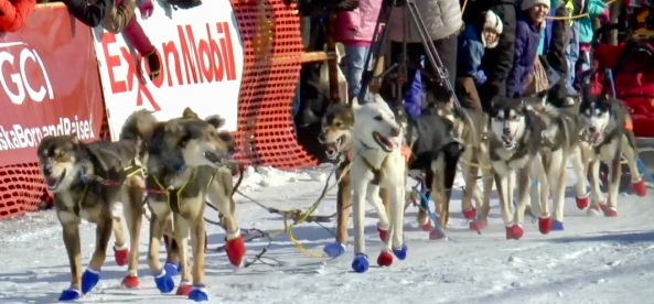Dogs. Winning the Iditarod. (Image ADSN News)