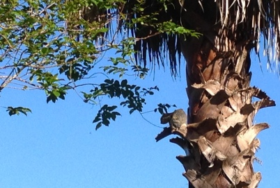 Squirrel resting in palm tree balcony before stepping down spiral stairs to fence. ALL rights reserved. Copyrighted. NO permissions granted