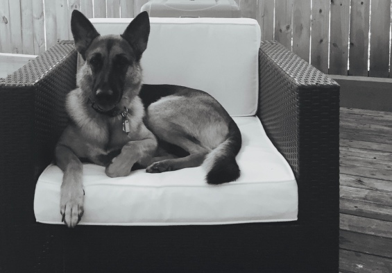 The German. Germans shepherd on outdoor chair. ALL rights reserved. Copyrighted. NO permissions granted.