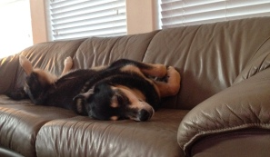 Dog. Molly Malamute asleep on couch. ALL rights reserved. NO permissions granted. Copyrighted