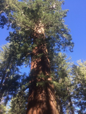 Giant tree looking from ground up trunk. Yosemite. ALL rights reserved. Copyrighted, NO permissions granted