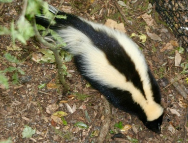 skunk. (Kevin Bowman/Commons.wikimedia.org)