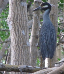 Looks like Henry. Yellow-crowned Night Heron in tree. (Image by Sky99/Commons.wikimedia.org)