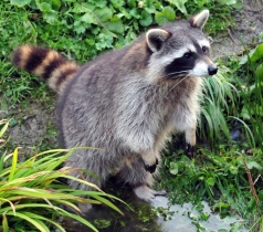 Raccoon at pond in natural setting. Image by Kichael Gabler/Commons.wikimedia.org)