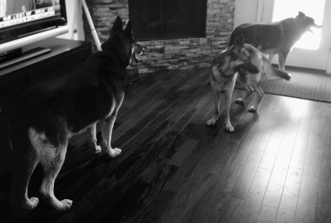 Dogs in black and white lined up by door ©ALL rights reserved., Copyrighted. NO permissions granted