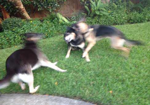 Dogs. German Shepherd playing wildly in yard. ©ALL rights reserved, copyrighted, NO permissions granted