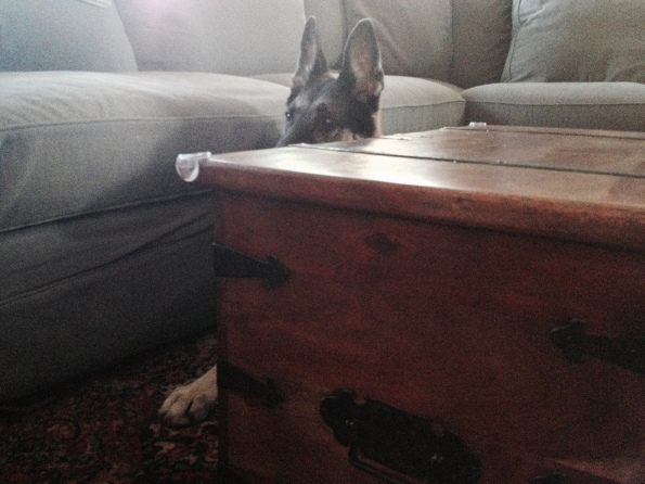 dog. German Shepherd hiding behind coffee table. ALL rights reserved. Copyrighted. NO permissions granted