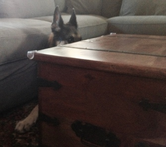 dog. German shepherd peeking over coffee table. ALL rights reserved. Copyrighted, No permissions given