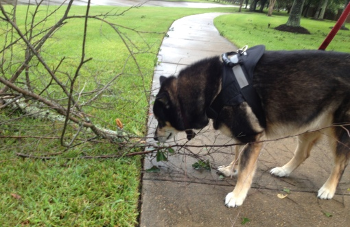 Dog. © Molly Malamute examines stick offerings during a break in Hurricane Harvey's rain. ALL rights reserved. Copyrighted, NO permissions granted.