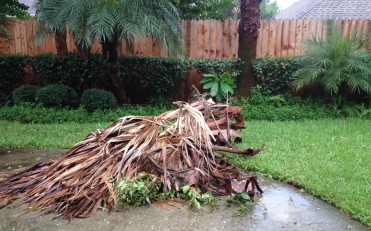 Fan palm fronds are piled up during breaks in the storm. Why? because the dog does' like things that looks weird and out of place so she barks like crazy until we fix it. ALL rights reserved. Image © Copyrighted. NO permissions granted