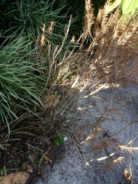 Dead plant being shoved out of flower bed by pushy bully plants. Image ©. ALL rights reserved. Copyrighted. NO permissions granted