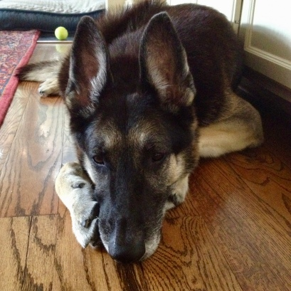 The German exhausted on the floor. Germans Shepherd image ©. All rights reserved, copyrighted, no permissions granted)