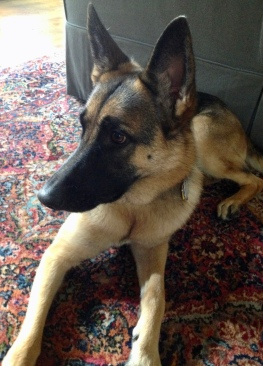 Ella German Shepherd on rug. (Image ©. all rights reserved, no permissions granted, copyrighted)
