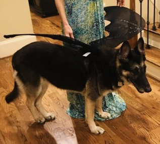 German Shepherd as dragon for Halloween. All rights reserved, no permissions granted, copyrighted)