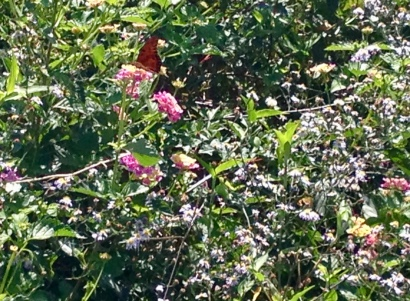 Wild flowers at Pine Gully. Lantana with monarch butterfly. (Image: all rights reserved. Copyrighted, No permissions granted)