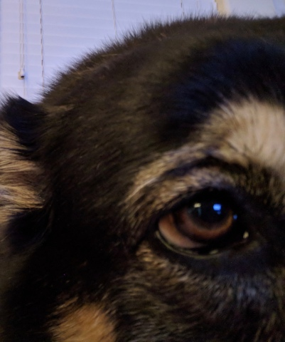 dog Malamute eye. (Image: © All rights reserved, copyrighted, NO permissions granted)