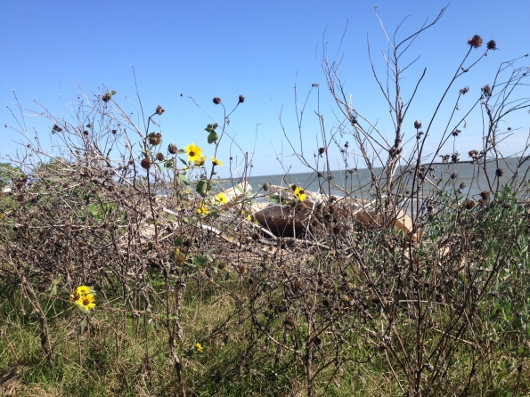 Wild flowers at the edge of Galveston Bay/ Pine Gully area (Image: all rights reserved, copyrighted, no permissions granted)