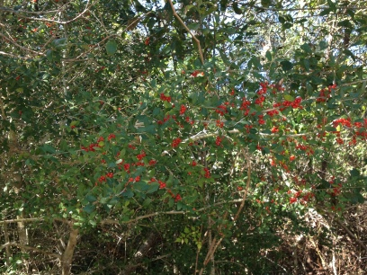Plants. Pyracantha berries. (Image: all rights reserved, copyrighted, no permissions granted)