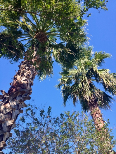 Two fan palms (Image © copyrighted, no permissions granted, all rights reserved)