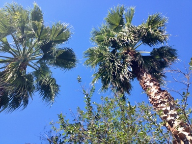Pretty Fan Palms. (Image: ©all rights reserved, no permissions granted, copyrighted)