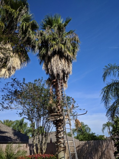 """Fan palm being trimmed. """"Oh, that tickles. I'll just help by tossing down the oldest bottom layer. Look out below. Barbed stalks ready to spear.""""(Image all rights reserved, copyrighted , no permissions granted)"""