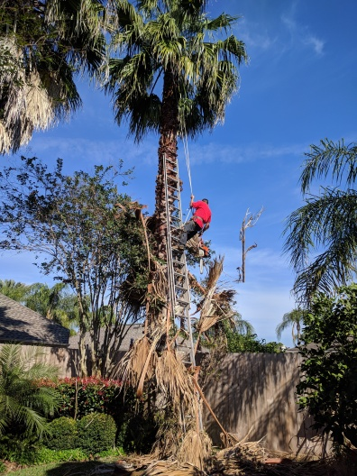 MAn trimming fan palm (Image ©All rights reserved, copyrighted, no permissions granted)