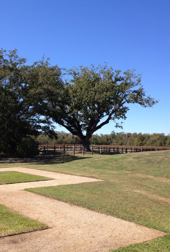 Oak tree with zigzag path. (Image:© all rights reserved, copyrighted, no permissions granted)