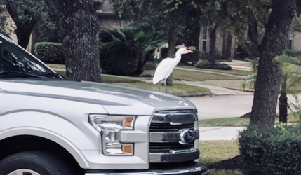 White Egret on truck hood in neighborhood (Image: All rights reserved, copyrighted, no permissions granted)