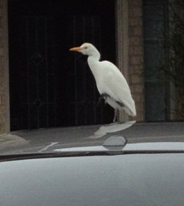 white bird perched on car roof. Egret. (Image: © ALL rights reserved, copyrighted, NO permissions granted)