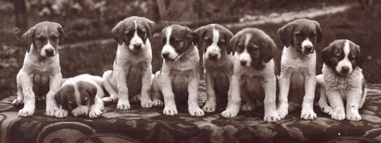 Line of Dogs. St. Bernard puppies, 1918 postmarked post card, (Editions Art. Perrochet&David, La Chaux-de-Fonds/Lausanne (USPD- pub.date, artist life/Commons.wikimedia.org)